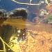 Alaria esculenta - Photo (c) libby_orcutt, alguns direitos reservados (CC BY-NC)