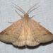 Caenurgia chloropha - Photo (c) Royal Tyler, μερικά δικαιώματα διατηρούνται (CC BY-NC-SA)