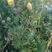 Centaurea collina - Photo (c) Julien Renoult, algunos derechos reservados (CC BY)