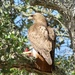 Buteo jamaicensis calurus - Photo (c) iandeas, osa oikeuksista pidätetään (CC BY-NC)