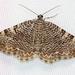 Rheumaptera undulata - Photo (c) Brenda Bull, algunos derechos reservados (CC BY-NC)