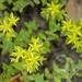 Stringy Stonecrop - Photo (c) Rusty, some rights reserved (CC BY)