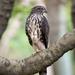Accipiter trivirgatus formosae - Photo (c) 尹若宇,  זכויות יוצרים חלקיות (CC BY-NC)