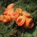 Australopsammia aurea - Photo (c) Josh Moloney, algunos derechos reservados (CC BY-NC)