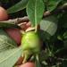 Rabdophaga salicisbatatus - Photo (c) Ken-ichi Ueda, algunos derechos reservados (CC BY)