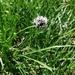Carex foetida - Photo (c) Simon Crameri, μερικά δικαιώματα διατηρούνται (CC BY-NC)