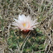 Coryphantha ottonis - Photo (c) ricardo_munoz,  זכויות יוצרים חלקיות (CC BY-NC)