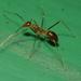 Hormiga Loca Amarilla de África - Photo (c) portioid, algunos derechos reservados (CC BY-SA)