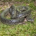 Speckled Kingsnake - Photo (c) Royal Tyler, some rights reserved (CC BY-NC-SA)