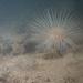 Pachycerianthus borealis - Photo (c) Torben Brydges,  זכויות יוצרים חלקיות (CC BY-NC)