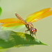 Eastern Amberwing - Photo (c) Cláudio Dias Timm, some rights reserved (CC BY-NC-SA)