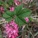 Ribes sanguineum - Photo (c) Tyler Kennedy, μερικά δικαιώματα διατηρούνται (CC BY-NC)