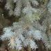 Picea pungens - Photo (c) Hannah Floyd, algunos derechos reservados (CC BY-NC)