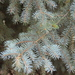 Blue Spruce - Photo (c) Hannah Floyd, some rights reserved (CC BY-NC)