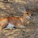 Antilope Rojo - Photo (c) Arno Meintjes, algunos derechos reservados (CC BY-NC)