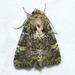 Oligia chlorostigma - Photo (c) Owen Strickland, μερικά δικαιώματα διατηρούνται (CC BY-NC)