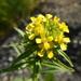 Erysimum hieraciifolium - Photo (c) Colin Chapman-Lam, algunos derechos reservados (CC BY-NC)