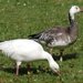 Snow Goose - Photo (c) Volker Heinrich, some rights reserved (CC BY-NC)