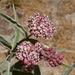 Algodoncillo Indio - Photo (c) Lily, algunos derechos reservados (CC BY-NC)
