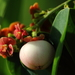 Sweet Leaf - Photo (c) Deny Wahyudi, some rights reserved (CC BY-NC)