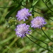 Field Scabious - Photo (c) Alexey Katz, some rights reserved (CC BY-NC)