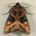 Euplexia benesimilis - Photo (c) Dick, algunos derechos reservados (CC BY-NC-SA)