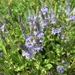 Prostrate Speedwell - Photo (c) Conrad Altmann, some rights reserved (CC BY)