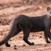 Jaguarundi - Photo (c) gabriel_arroyo, some rights reserved (CC BY-NC)