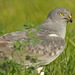 Montagu's Harrier - Photo (c) Вячеслав Юсупов, some rights reserved (CC BY-NC)