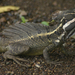 Common Basilisk - Photo (c) Brian Gratwicke, some rights reserved (CC BY-NC)