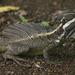 Toloque Centroamericano - Photo (c) Brian Gratwicke, algunos derechos reservados (CC BY-NC)