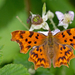 European Comma - Photo (c) Paul Cools, some rights reserved (CC BY-NC)
