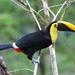 Ramphastos ambiguus swainsonii - Photo (c) donald_varela, alguns direitos reservados (CC BY-NC)