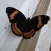 Eight-Spot Butterfly - Photo (c) Frédéric Ducarme, some rights reserved (CC BY-NC-ND)