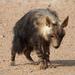 Hyaeninae - Photo (c) Jenny Donald, algunos derechos reservados (CC BY-NC)