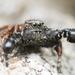Habronattus oregonensis - Photo (c) Thomas Barbin, algunos derechos reservados (CC BY-NC)