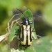 Agasicles hygrophila - Photo (c) Russell Pfau, algunos derechos reservados (CC BY-NC)