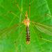 Tipula helvola - Photo (c) Dorine Post, algunos derechos reservados (CC BY-NC)