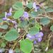 Poissonia hypoleuca - Photo (c) Martin Arregui, μερικά δικαιώματα διατηρούνται (CC BY-NC)