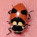 Oregon Lady Beetle - Photo (c) threeagoutdoors, some rights reserved (CC BY)
