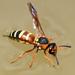 Euodynerus annulatus - Photo (c) Steven Mlodinow, osa oikeuksista pidätetään (CC BY-NC)