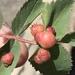 Diplolepis ignota - Photo (c) threeagoutdoors, alguns direitos reservados (CC BY)