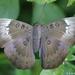 Euthalia aconthea - Photo (c) Sanket Raut, μερικά δικαιώματα διατηρούνται (CC BY-NC)