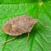 Dock Leaf Bug - Photo (c) Boris Loboda, some rights reserved (CC BY-NC-ND)