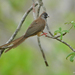 Red-backed Mousebird - Photo (c) Nik Borrow, some rights reserved (CC BY-NC)