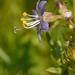 Polemonium occidentale - Photo (c) Dee Warenycia, algunos derechos reservados (CC BY-NC)