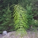 Shady Horsetail - Photo (c) Mike V.A. Burrell, some rights reserved (CC BY-NC)