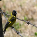 Black-headed Siskin - Photo (c) Pablo Leautaud, some rights reserved (CC BY-NC)