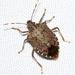 Halyomorpha halys - Photo (c) Victor W Fazio III, μερικά δικαιώματα διατηρούνται (CC BY-NC)
