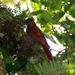 Lepidocolaptes affinis - Photo (c) Carol Foil,  זכויות יוצרים חלקיות (CC BY-NC-ND)